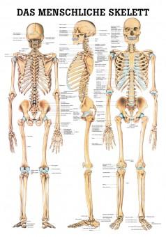 Das menschliche Skelett Poster 24cm x 34cm