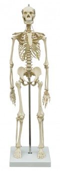 Menschliches Mini-Skelett