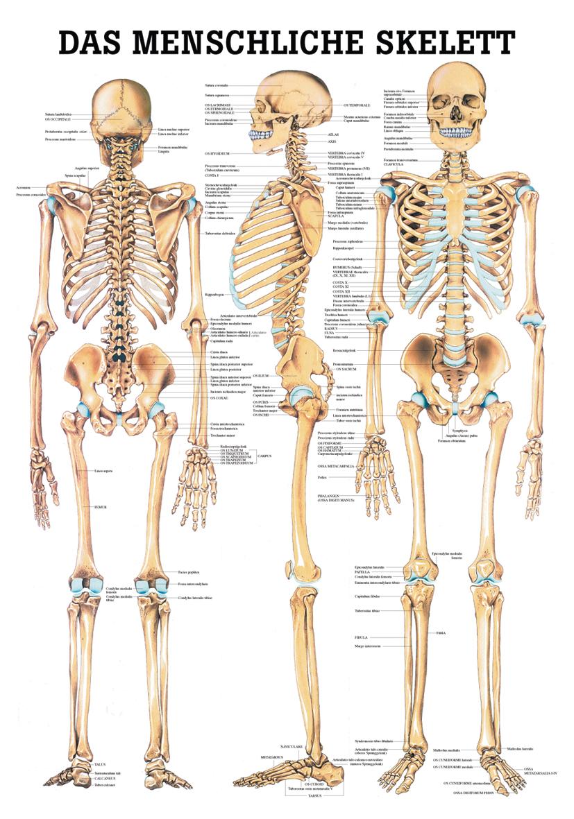 Das menschliche Skelett im YOGISTAR.COM kaufen | Yoga-Zubehör ...