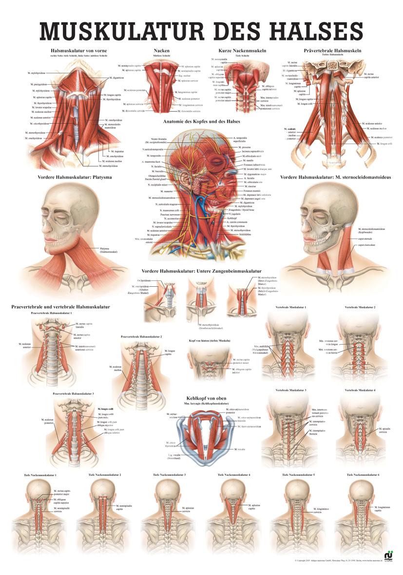 Muskulatur des Halses (Poster 50cm x 70cm) im YOGISTAR.COM kaufen ...