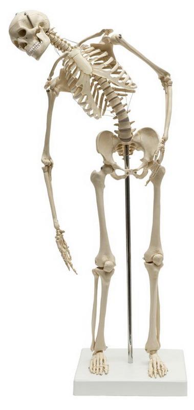 Menschliches Mini-Skelett, flexibel