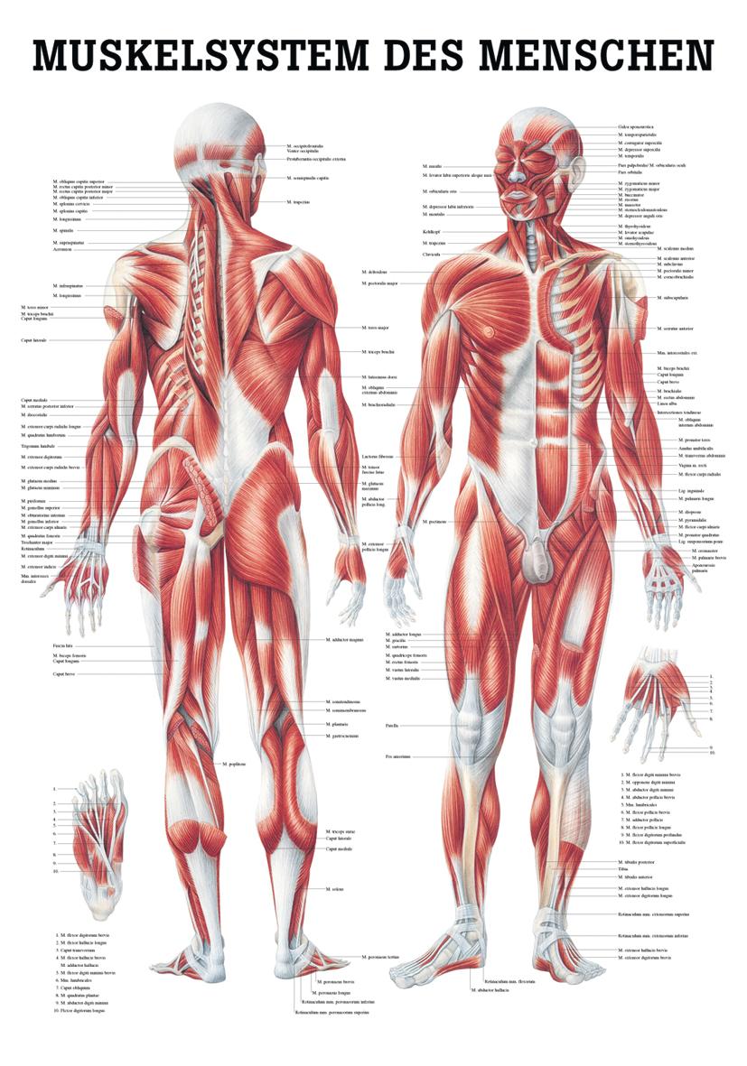 Wunderbar Beine Muskeln Anatomie Ideen - Menschliche Anatomie Bilder ...