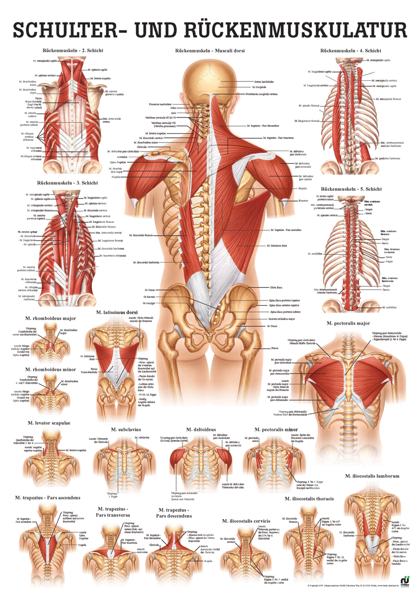 Schulter- und Rückenmuskulatur (Poster 50cm x 70cm)
