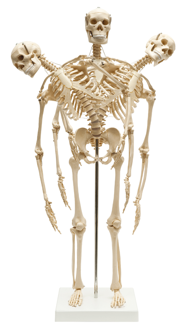 Menschliches Mini-Skelett, flexibel im YOGISTAR.COM kaufen | Yoga ...