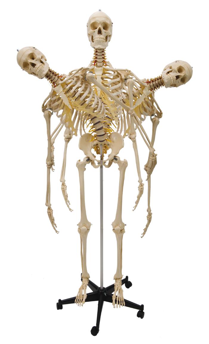 Menschliches Skelett, flexibel im YOGISTAR.COM kaufen | Yoga-Zubehör ...