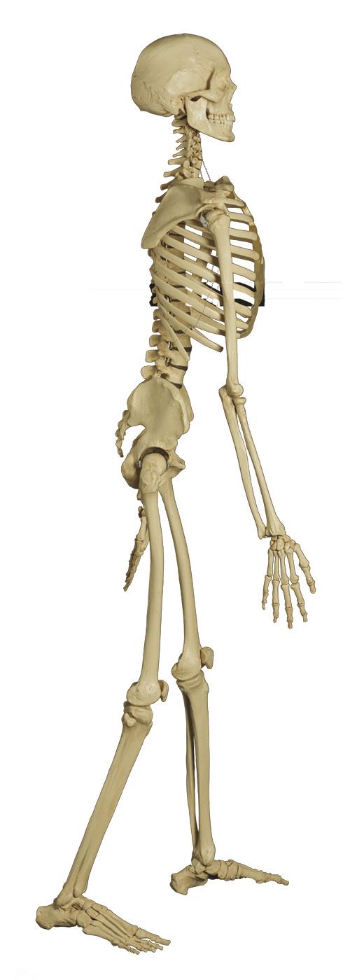 Charmant Menschliche Skelettknochen Zeitgenössisch - Menschliche ...