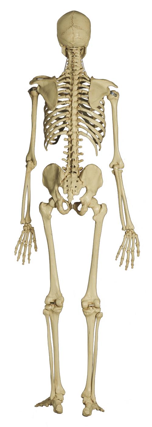 Menschliches Skelett im YOGISTAR.COM kaufen | Yoga-Zubehör ...
