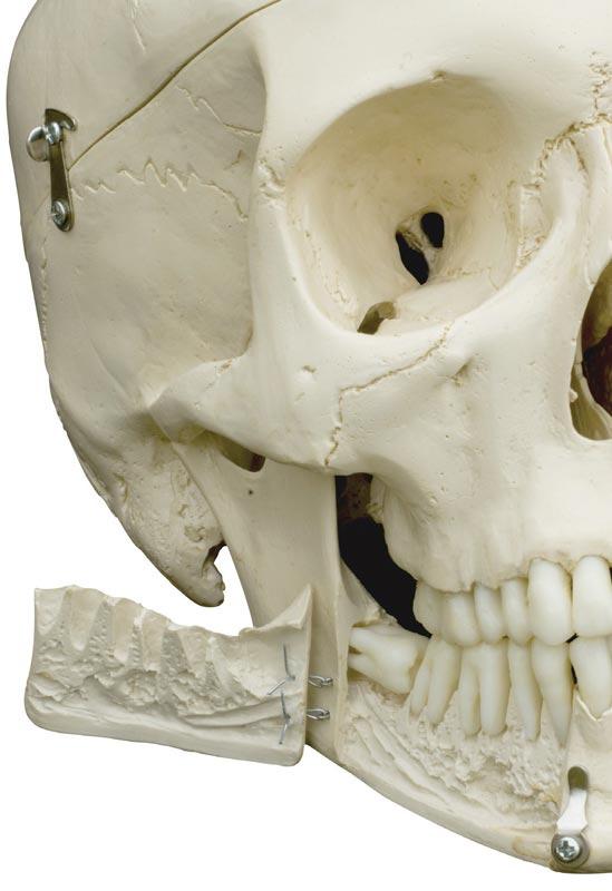Menschliches Skelett